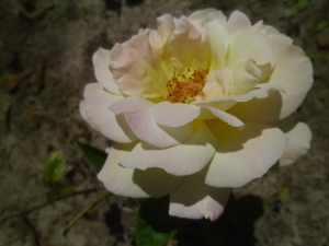 Pretty rose, nice fragrance.